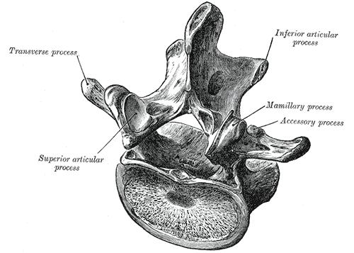 Lendenwirbel